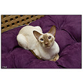 oriental cat cinnamon point cats pet pets siamese havana siam
