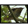 nature bird songthrush thrush feathers carlsbirdclub