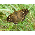 speckled wood butterfly insect