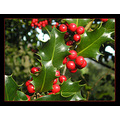 El acebo es un especie protegida en Espa�a