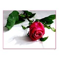 flower deep pink rose