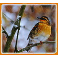varied thrush carslbirdclub snow