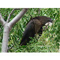 RedTailed Black Parrot garden perth littleollie