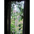 window vines
