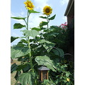 sun flowers sunflowers garden birdhouse