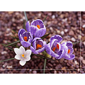 flowers crocus Mamiya 645 film velvia
