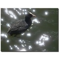 netherlands weesp reflectionthursday water bird coot nethx weesx waten birdx