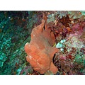 animals fish underwater frogfish