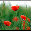 poppy poppies red flower love nature somerset somersetdreams