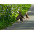 turkeys poults wildturkeys birds wildlife