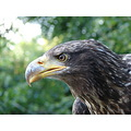 american whitetailed eagle