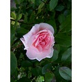 Rose Small Pink Pretty Scented Flower