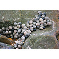 scotland gullane sea nature shells winkles