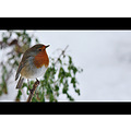 Robin snow bird February 2012