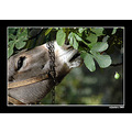 donkey animals eating fig tree nature trikeri greece