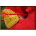 Sulpher butterfly on a hibiscus