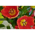 flowers tulips nature red