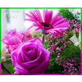 flowers roses pink