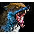 fox bwc dog animal wild tired yawning sleep teeth