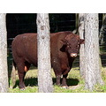 bull animal farmanimal cattle