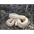 Albino western diamondback found on a rescue call