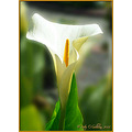 Lilly Flower Tralee Kerry Ireland Peter OSullivan