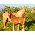 thisis my palamino horse taya and her gorgeus foal charlie