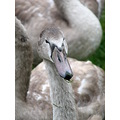 swans cygnets water birds brickfields rhyl