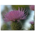thistle purple wildflower nature