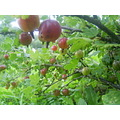 Gooseberries yummy