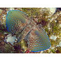 Flying gurnard Cala Santanyi Diving Mallorca