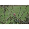 bird bullfinch nature
