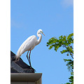 bird white heron rooftop perth littleollie