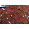 autumn fall leaves foliage newengland usa montpelier vermont