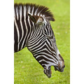 Zebra Marwell Zoo Wildlife Captive