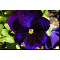 stlouis missouri us usa landscape plants flower impatient purple macro bh 2008