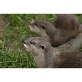otters animals cotswold wildlife park