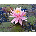 Water lily some where along the way