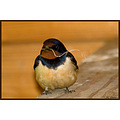 nature bird swallow