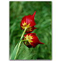 tulip flower nature