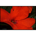 stlouis missouri us usa plant flower macro red PUCC 2007