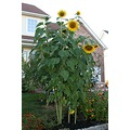 sunflower sunflowers tall
