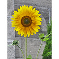 autumn flower yellow yellowfph sunflower