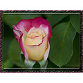 Rose bud flower plant doubledelight macro Tamron180mm aloha Oregon