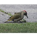 Green Woodpecker Female 2