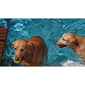 dog swimming pool labs blue toys