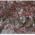birds waxwings berries