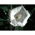 nature flower Datura stramonium