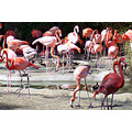 Flamingos (2 of series) San Diego Zoo