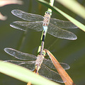 dragonflies nature luxembourg